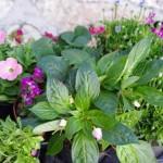 買ってきた花たち インパチィエンスは植え替えてからまだ撮影していないので・・・