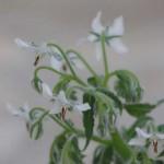 ボラジ 普通は鮮やかなブルーの花ですが、これは白、素敵です。イタリアではボラジネです。