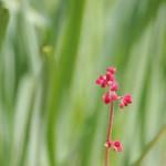 ヒューケラ、咲き始めました。これからながーく楽しめます。