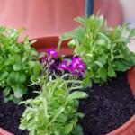 アラビス・ブレファロフィラを、まだ花が咲いていないロベリアに真ん中に。そのうち埋もれちゃうかな?