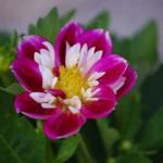 ミニダリア2 こういう咲き方のダリアを見たのは初めてです。
