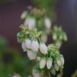 ブルーベリー この白い花があの青い実になるなんてね。