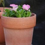 サフィニアピンク 背の高い鉢に植えました、垂れ下がってきても良いように。