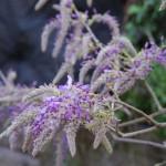 フジ イタリア語ではグリチネ。咲き始めはプッドレア見たいね。