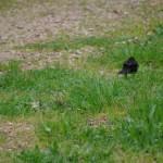 黒い鳥とすずめ