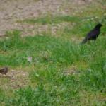 黒い鳥とすずめ2